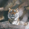 secret-garden-sigfried-roy-tracy-lee-lions-tiger-cubs-dolphins-108