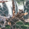 secret-garden-sigfried-roy-tracy-lee-lions-tiger-cubs-dolphins-134