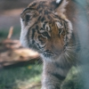 secret-garden-sigfried-roy-tracy-lee-lions-tiger-cubs-dolphins-135