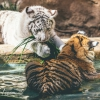 secret-garden-sigfried-roy-tracy-lee-lions-tiger-cubs-dolphins-144