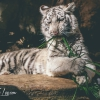 secret-garden-sigfried-roy-tracy-lee-lions-tiger-cubs-dolphins-145