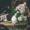 secret-garden-sigfried-roy-tracy-lee-lions-tiger-cubs-dolphins-146
