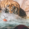 secret-garden-sigfried-roy-tracy-lee-lions-tiger-cubs-dolphins-148