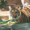 secret-garden-sigfried-roy-tracy-lee-lions-tiger-cubs-dolphins-149